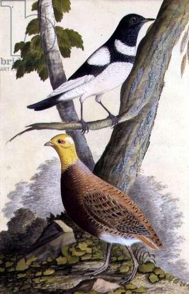 Black-Throated Thrush (Turdus ruficollis) and Partridge (Perdix perdix), c.1740 (w/c on paper)