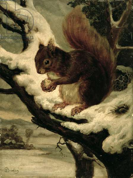 A Red Squirrel Eating a Nut (oil on millboard)