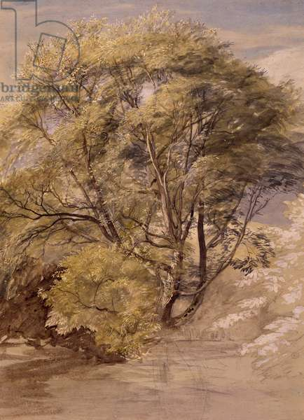 Study of a Willow Tree, c.1850 (w/c on paper)