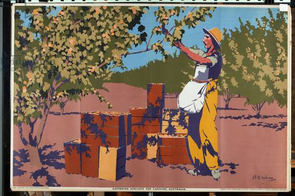 Gathering Apricots for Canning - Australia (colour litho)