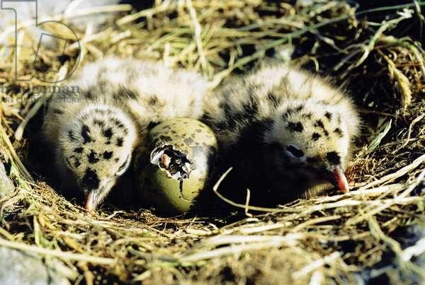 Seagull Chicks (photo)