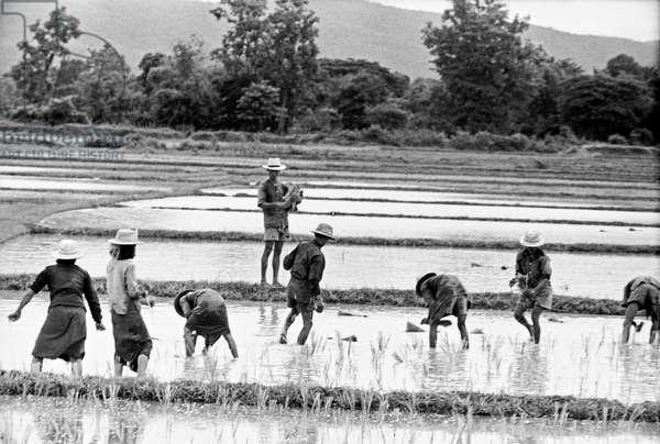Thai peasants working in a rice-field, Bangkok, 1961 (b/w photo)