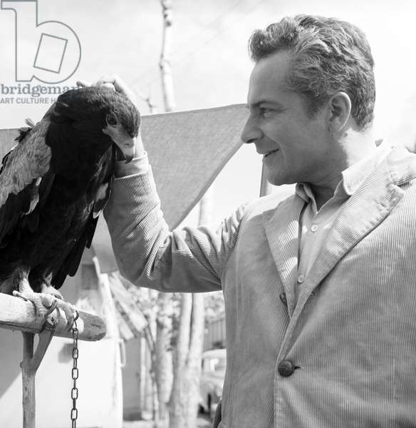 Rossano Brazzi caressing a hawk, Italy, 1957 (b/w photo)