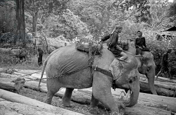 Workers carrying cut trunks using elephants, Bangkok, 1961 (b/w photo)