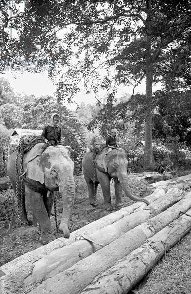 Workers carrying cut trunks using elephants, Bangkok, 1961 (b/w photo)