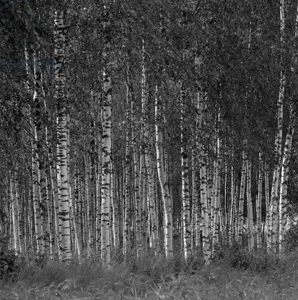 Some birches typical in Finnish forests, Finland, 1960s (b/w photo)