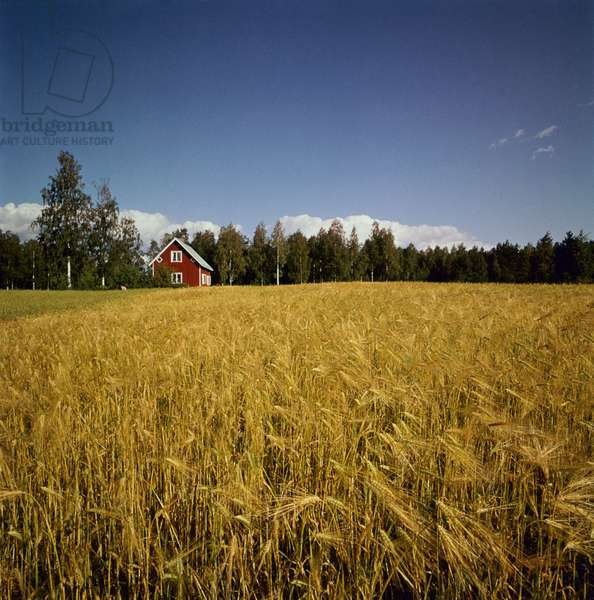 A solitary typical Finnish wooden house built between a wheat field and a forest, in the background, Finland, 1960s (b/w photo)