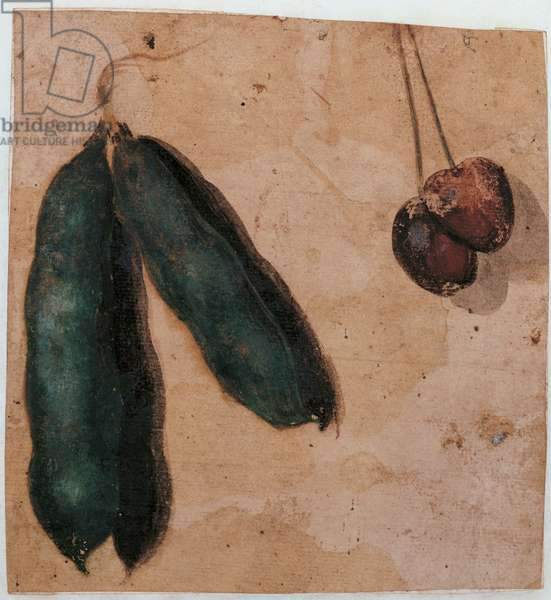 Botanical Drawings: two Pea Pods and two Cherries, workshop of Simone Peterzano, 1550 - 1599, 16th Century, oil on prepared paper