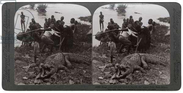 Huge crocodile just landed - beside the Upper Nile, East Africa, c.1905 (b/w photo)