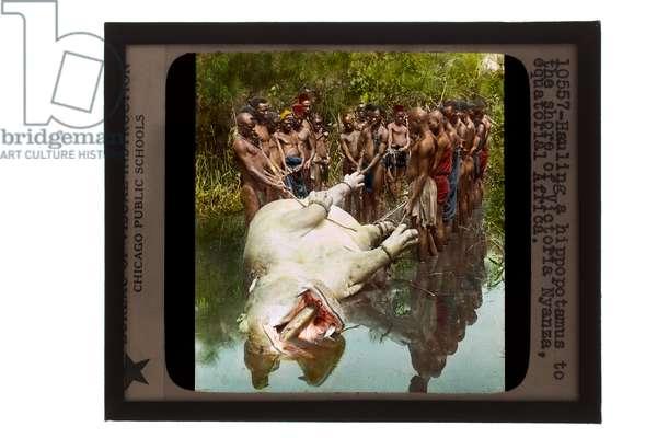 Hauling a hippopotamus to the shore of Victoria, Nyanza, Equatorial Africa, c.1905 (glass lantern slide)