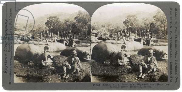Result of a morning's Hippopotamus Hunt on Mlembo River, Rhodesia, Africa, 1910 (b/w photo)