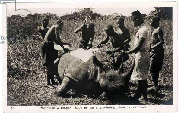 Skinning a rhino, c.1920s (b/w photo)