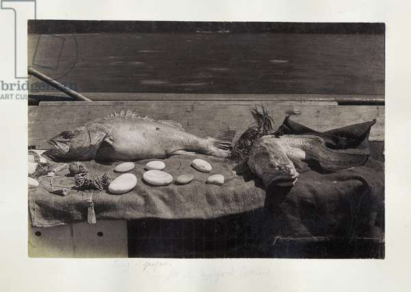 Ling and Groper caught in Milford Sound, c.1890 (gelatin silver print)