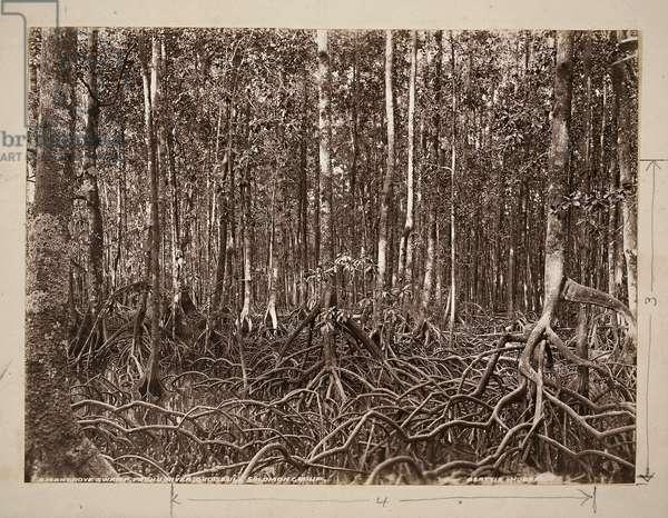 A mangrove swamp, Pachu River, Choiseul, Solomon Group (gelatin silver print)