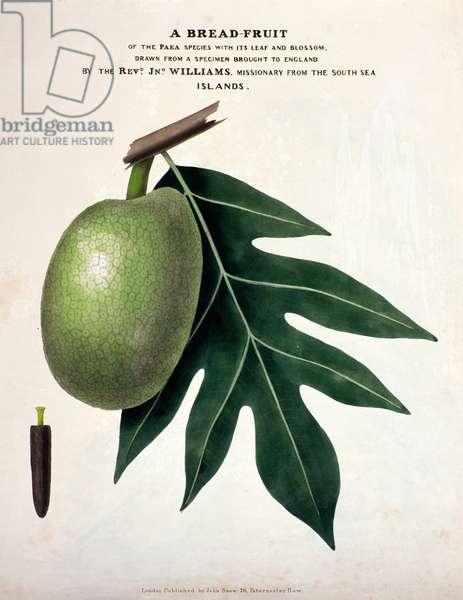 A Bread-Fruit, c.1825 (handcoloured litho)