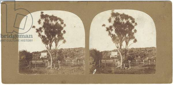 Specimen of Native Ti or Manuku Tree called a cabbage tree, Auckland, New Zealand (                                                                                                                               albumen print)