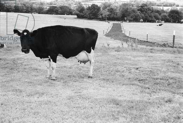 Glastonbury 89 Friesan, 1989 (b/w photo)