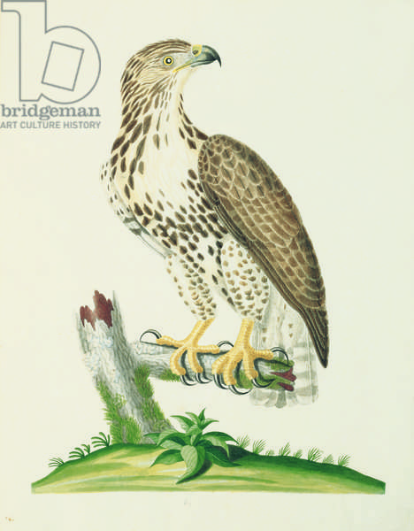 Great Brown Hawk, 1790 (w/c on paper)