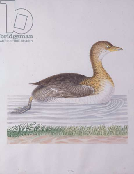 Grebe, Didapper, or Water Witch, 1790 (w/c on paper)