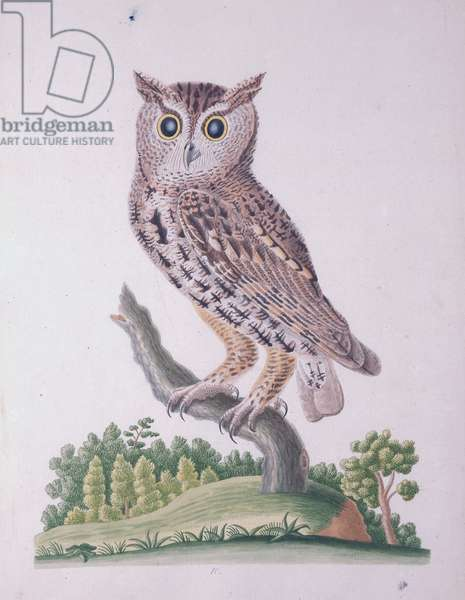 Little Horn Owl or Screech Owl, 1790 (w/c on paper)