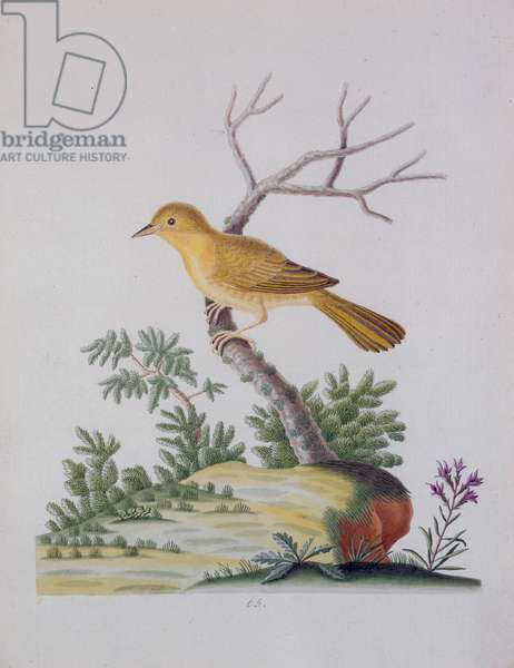 Pale Yellow Throat, 1790 (w/c on paper)