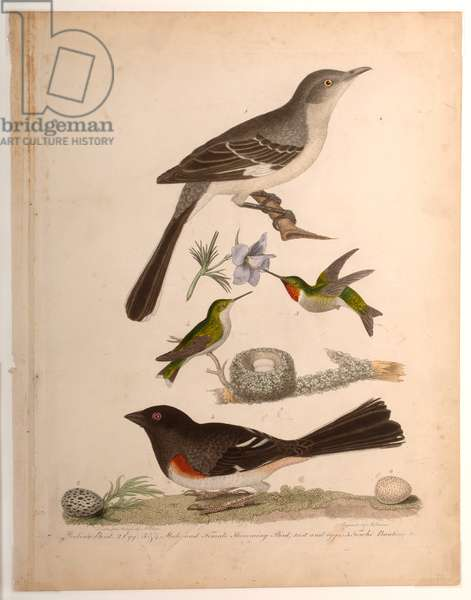Mocking Bird, Egg, Male and Female Hummingbird, 1829 (coloured engraving)