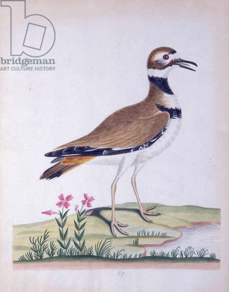 Plover, or Kildee, 1790 (w/c on paper)