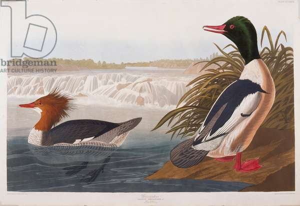 Goosander, 1836 (hand-coloured etching on paper)