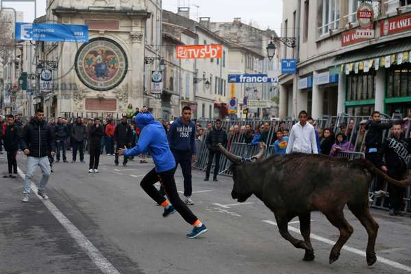 Arles, Provence, Easter Feria 2013. Encierro: young bulls are left running in the streets