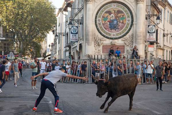 Arles, Provence, Rice Festival (Feria du riz) 2016. Encierro: young bulls are left rushing in the streets