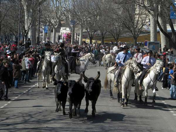 Arles, Provence, Easter Feria 2013. Bandido: demonstration on the road of bulls returning to the barn accompanied by guardians on horseback