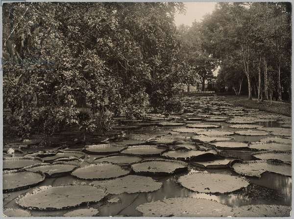 Waterlilies in the garden of Buitenzorg, Java (gelatin silver contact print)