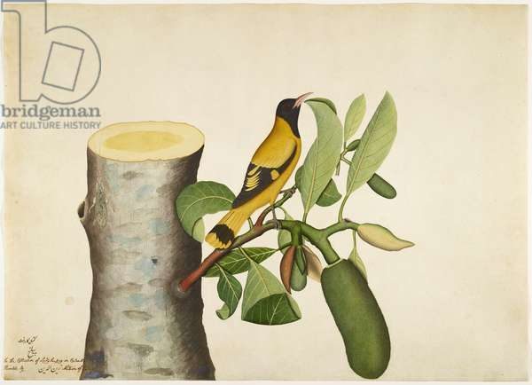 Black hooded Oriole and Insect on Jackfruit Stump, folio from a Series Commissioned by Lady Impey, 1778 (opaque colours & ink on paper)