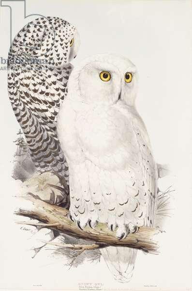 Snowy Owl.  Strix Nyctea; (Linn); Surnia Nyctea, 1832-1837