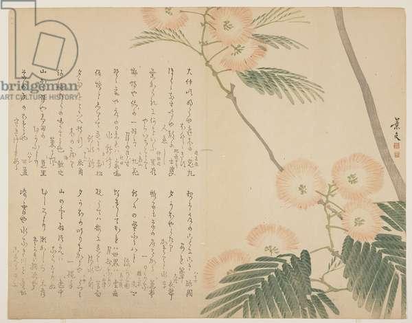 Flowering Silk Tree, c. 1818-1829