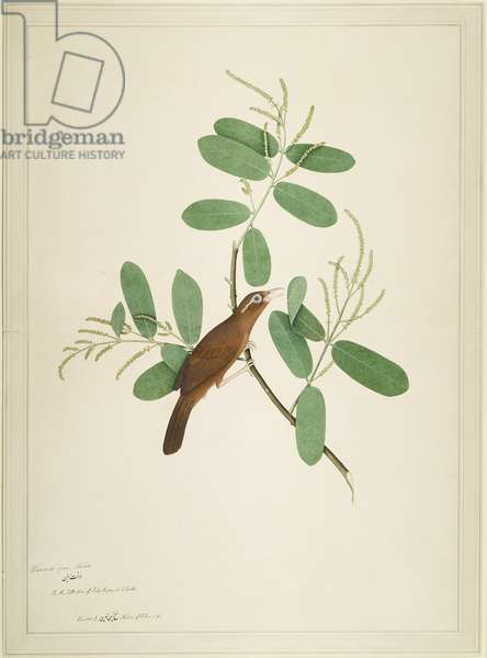 Hwamei on Terminalia Branch, folio from a Series Commissioned by Lady Impey, 1780 (opaque colours & ink on paper)
