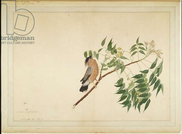 Brahminy Starling on Neem Tree Branch, folio from a Series Commissioned by Lady Impey, 1780 (opaque colours & ink on paper)