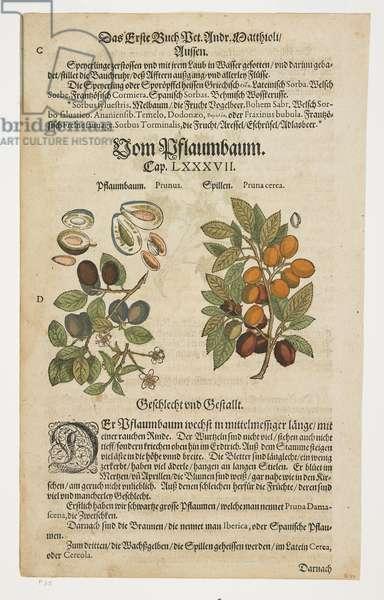 Prunes, Von Pflaumbaum, from Commentarii in Sex Libros Pedacii Dioscoridis, 1544-85 (hand-coloured woodcut)