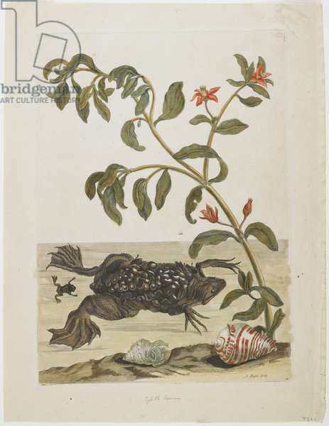 Male Suriname Toad, with Eggs on Back (Deposited There by Female), Shells and Flowering Plant, 1705-71 (hand-coloured etching & engraving)