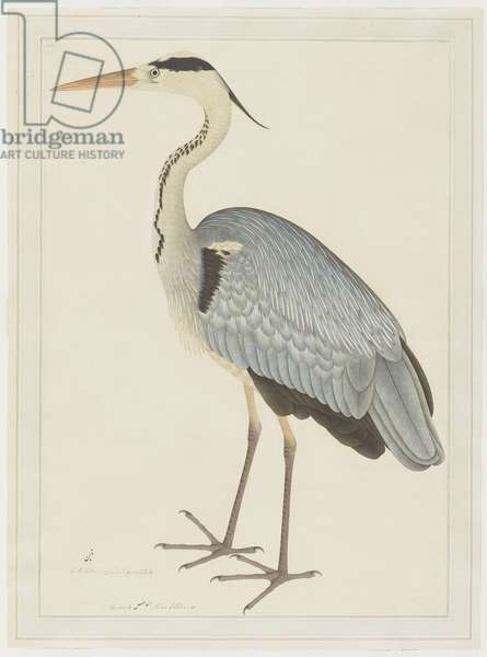 Grey Heron, folio from a Series Commissioned by Lady Impey, c.1780-82 (opaque colours & ink on paper)