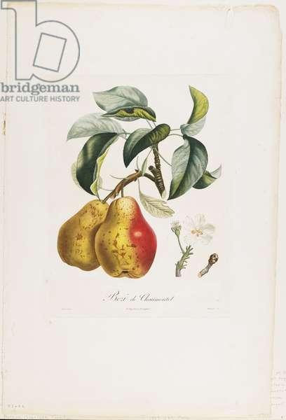 Bezi de Chaumontel (Pears), from Traite des Arbres Fruitiers, 1807-35 (hand-coloured stipple engraving)