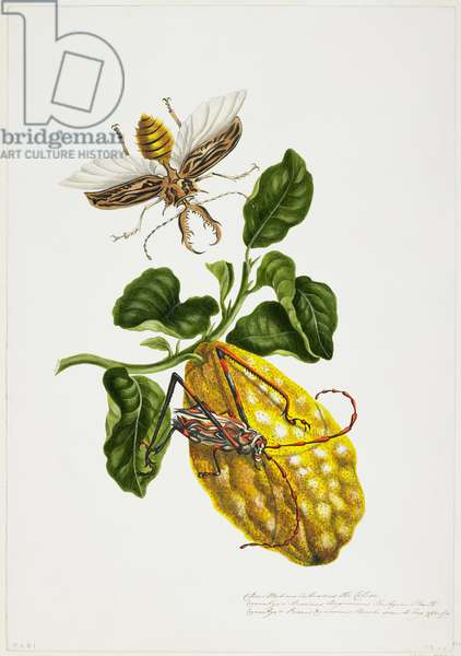 The Citron and Insects (w/c on paper)