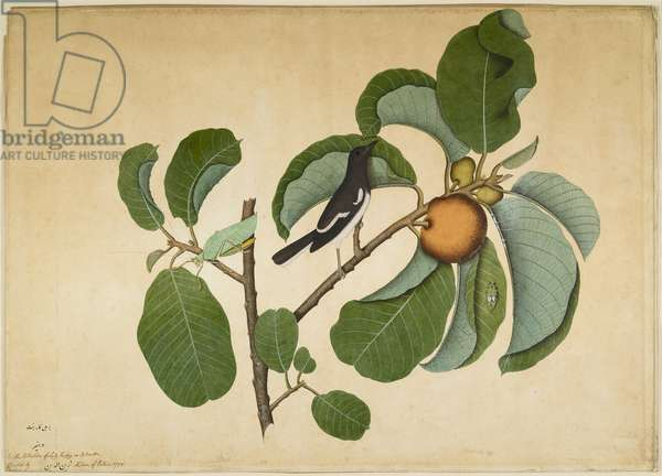 Oriental Magpie Robin with Katydid and Leaf Hopper on Monkey Jack Branch, folio from a Series Commissioned by Lady Impey, 1778 (opaque colours & ink on paper)