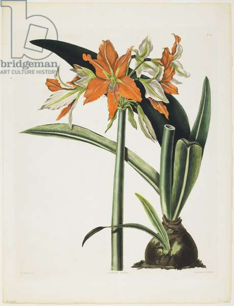 Amaryllis fulgida (Striped-Tubed Amaryllis), 1831-34 (aquatint with engraving, printed in colour and hand-coloured)