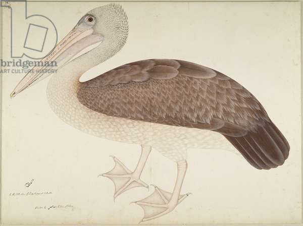 Spotbilled Pelican, folio from a Series Commissioned by Lady Impey, c.1780-82 (opaque colours & ink on paper)