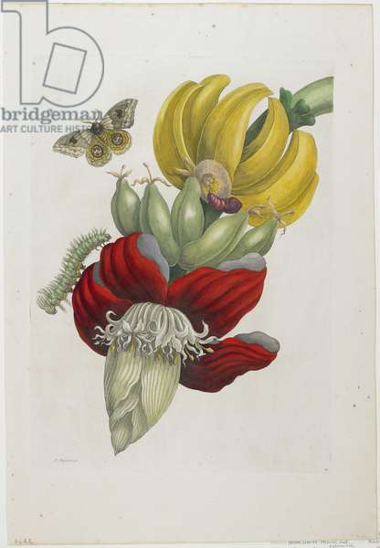 Inflorescence of Banana, 1705 (hand-coloured etching & engraving)