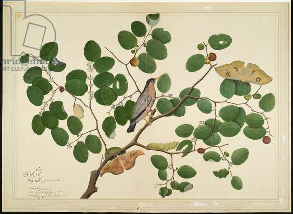 Brahminy Starling with Two Antheraea Moths, Caterpillar, and Cocoon on Indian Jujube Tree, folio from a Series Commissioned by Lady Impey, 1777 (opaque colours & ink on paper)