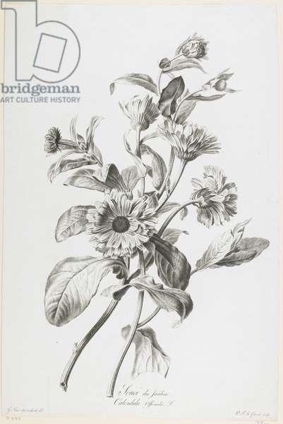 Souci des Jardins, from Fleurs Dessinees d'apres Nature, c.1800 (stipple engraving)