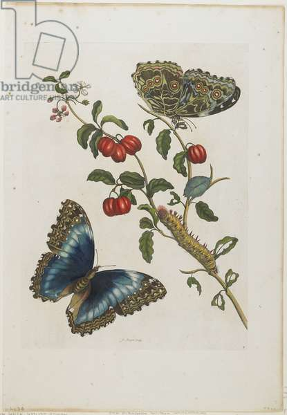Great Blue Butterflies and Red Fruits, 1705-71 (hand-coloured etching & engraving)