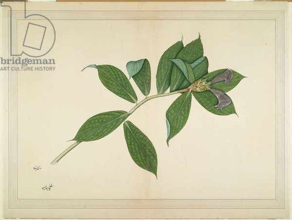 Crepe Ginger Plant, folio from a Series Commissioned by Lady Impey, c.1780 (opaque colours & ink on paper)